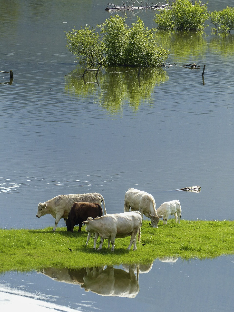cows-surrounded water358963_1280