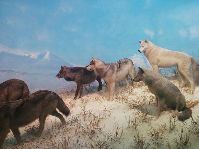 wolves-1308947_640