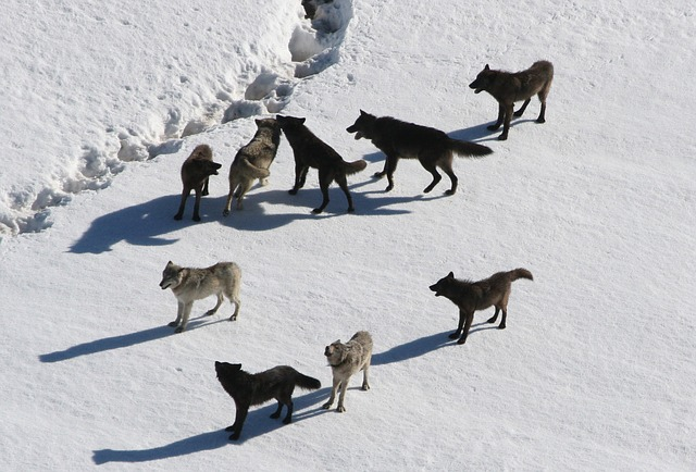 wolves-221304_640